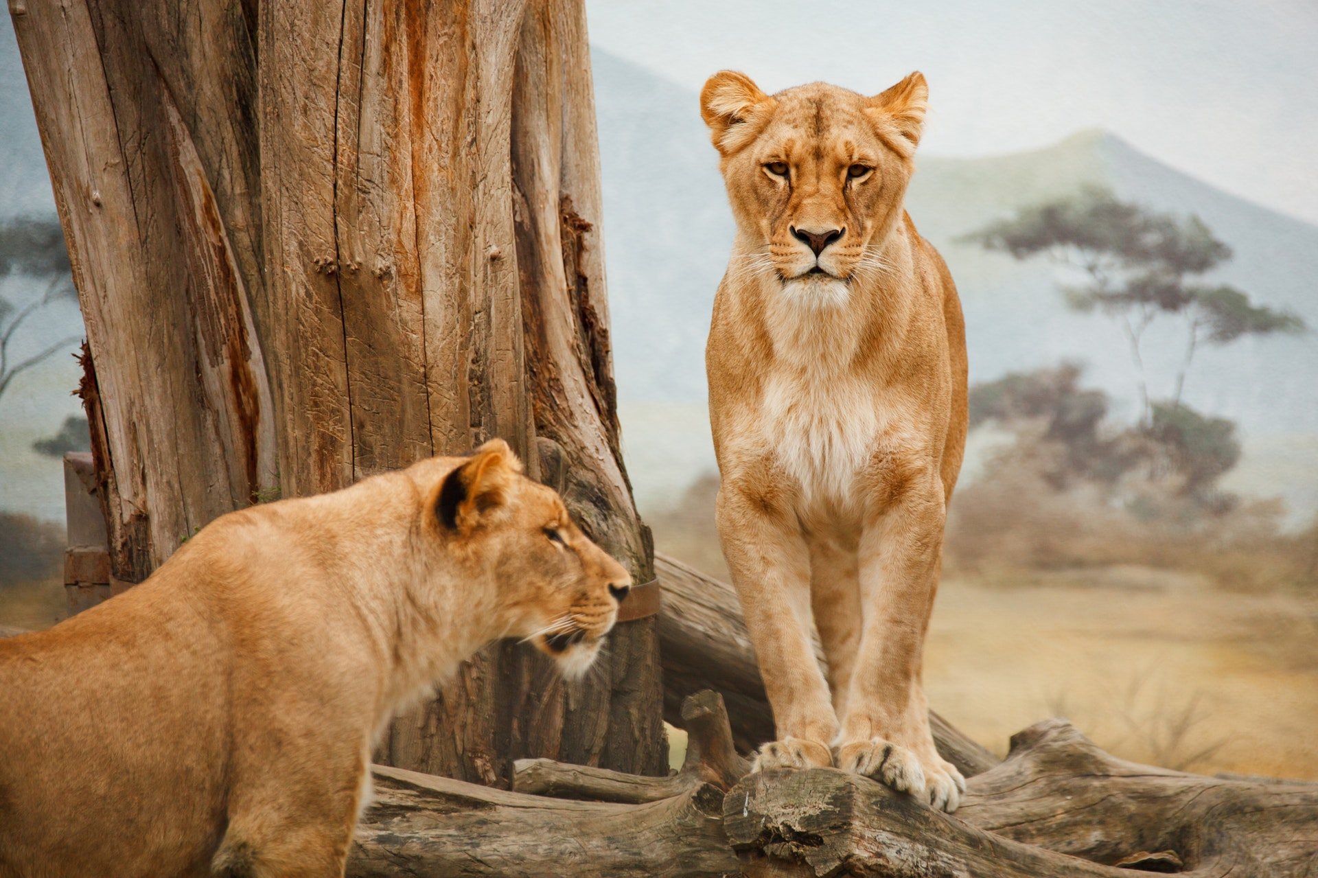 africa-animal-big-carnivore-41178
